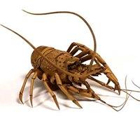 神奇的木雕虾 关节可以活动的虾雕刻手工