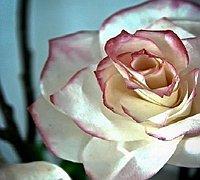 精美逼真的纸艺玫瑰花的做法