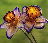 手工纸花的做法 水仙花制作图解