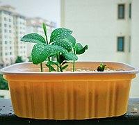 自己动手种植柠檬小盆栽